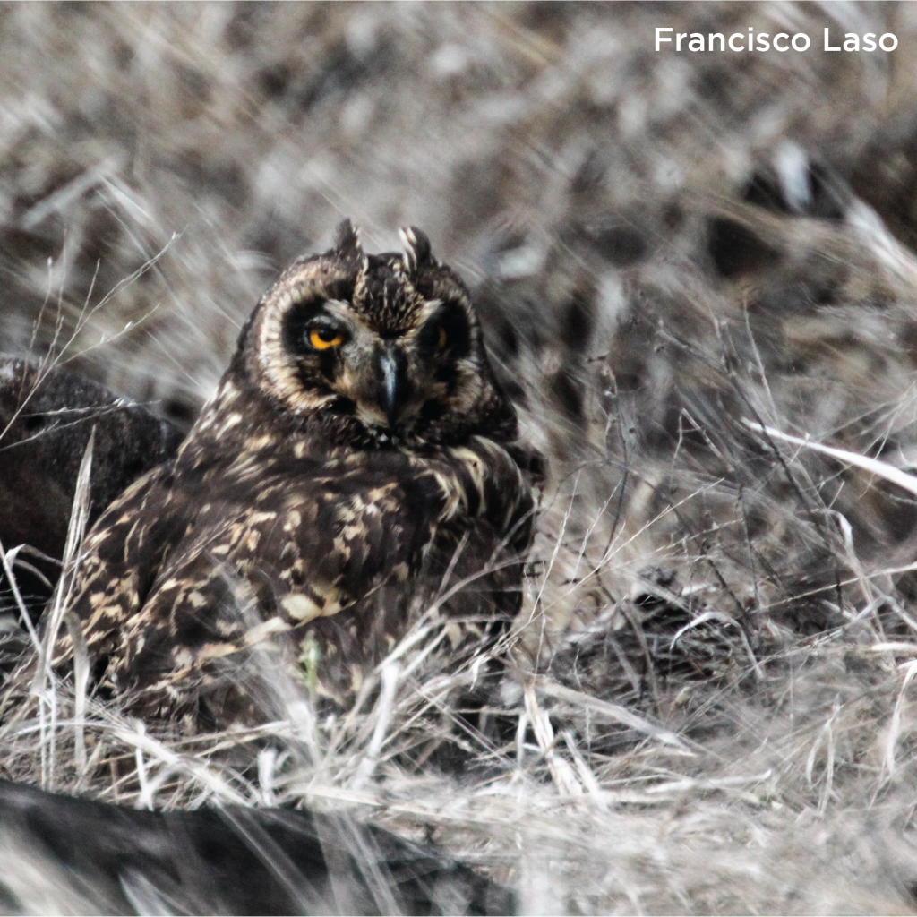 An owl looks past the camera and sits in the middle of brush.